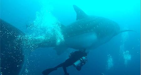 Se realiza el primer ultrasonido a tiburones ballena en las islas Galápagos